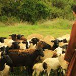 Papa Francisco en el Regina Coeli pide a la Iglesia imitar a Jesús, el Buen Pastor